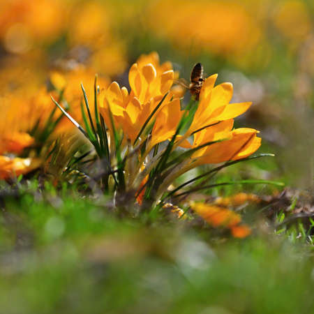 Spring orange flowers. Beautiful colorful first flowers on meadow with sun. Crocus Romance Yellow - Crocus Chrysanthus - Crocus tommasinianus - Crocus Tommasini.