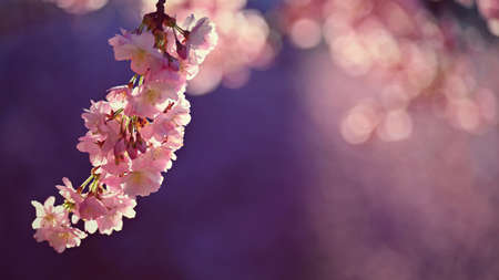 Spring background. Beautiful flowering tree with natural colors.