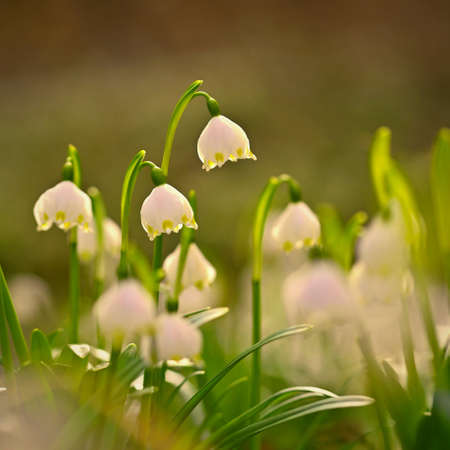 Spring snowflake flower (Leucojum vernum). Beautiful white spring flower in forest. Colorful nature background.