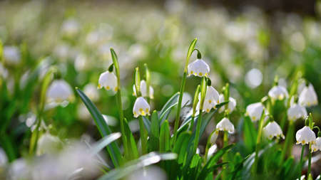 Spring snowflake flower (Leucojum vernum). Beautiful white spring flower in forest. Colorful nature background. Banco de Imagens - 164709458