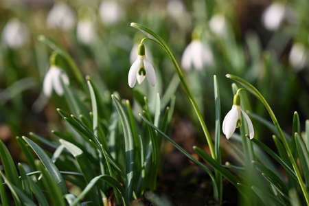 Spring flowers. The first flowering white plants in spring. Natural colorful background. (Galanthus nivalis).