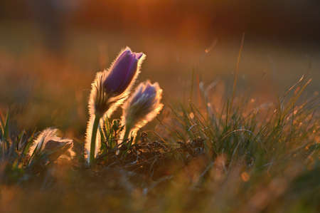 Spring flowers. Beautifully blossoming pasque flower and sun with a natural colored background. (Pulsatilla grandis) Reklamní fotografie - 164709402