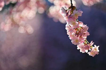 Spring background. Beautiful flowering tree with natural colors. Banque d'images - 164709408