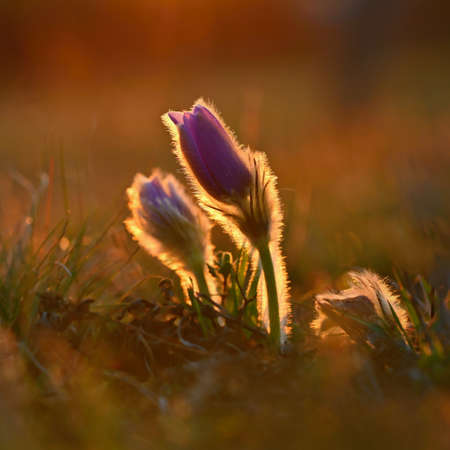 Spring flowers. Beautifully blossoming pasque flower and sun with a natural colored background. (Pulsatilla grandis) Zdjęcie Seryjne - 164708956