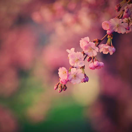 Spring background. Beautiful flowering tree with natural colors. Banque d'images - 164709205