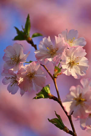 Spring background. Beautiful flowering tree with natural colors. Beautiful spring morning with the rising sun. Reklamní fotografie - 165229106