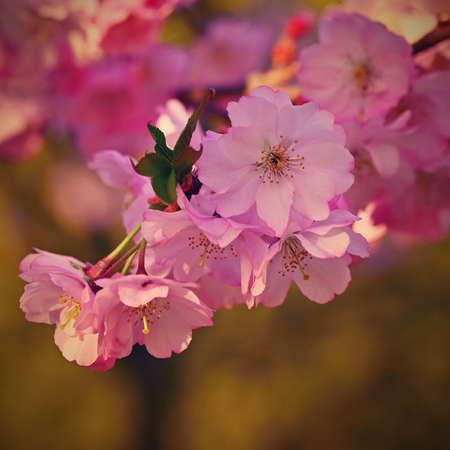 Spring background. Beautiful flowering tree with natural colors. Beautiful spring morning with the rising sun.