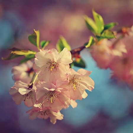 Spring background. Beautiful flowering tree with natural colors. Beautiful spring morning with the rising sun. Reklamní fotografie - 165229075