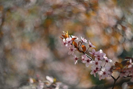 Springtime. Beautifully blossoming tree branch. Japanese Cherry - Sakura and sun with a natural colored spring background. Stok Fotoğraf