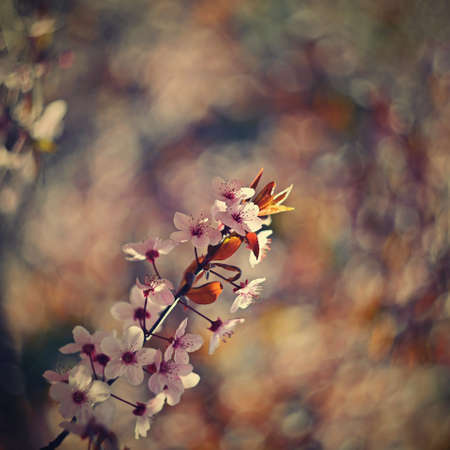 Springtime. Beautifully blossoming tree branch. Japanese Cherry - Sakura and sun with a natural colored spring background. Archivio Fotografico
