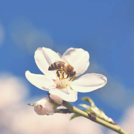 Spring nature. Beautiful white flowering almond tree with a bee. Nice spring sunny day with blue sky in background. Banque d'images - 165694453