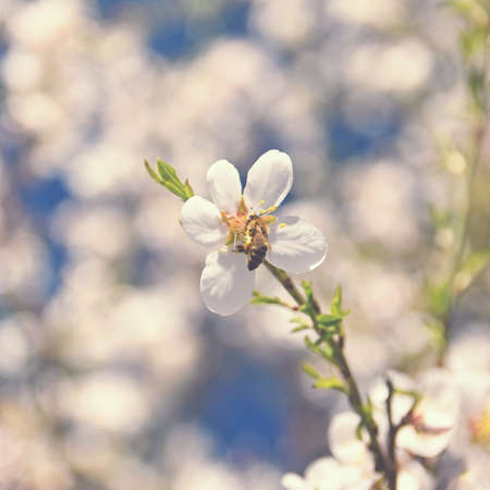 Spring nature. Beautiful white flowering almond tree with a bee. Nice spring sunny day with blue sky in background. Reklamní fotografie - 165694454