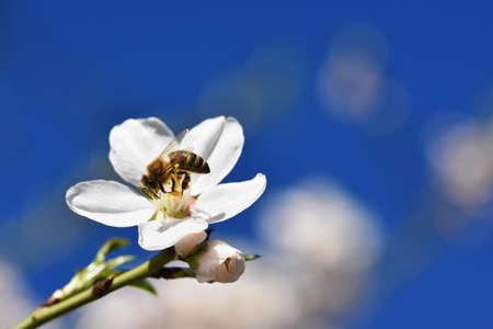 Spring nature. Beautiful white flowering almond tree with a bee. Nice spring sunny day with blue sky in background.