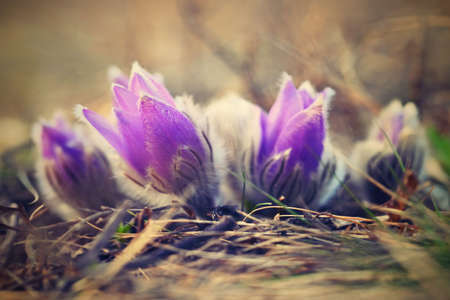 Spring flowers. Beautifully blossoming pasque flower and sun with a natural colored background. (Pulsatilla grandis) Archivio Fotografico