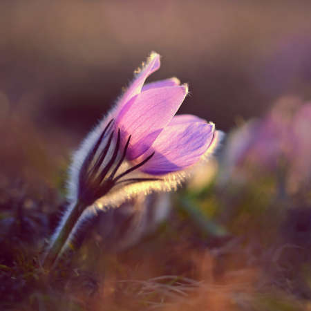 Springtime and spring flower. Beautiful purple little furry pasque-flower. (Pulsatilla grandis) Blooming on spring meadow at the sunset Stok Fotoğraf - 166250134