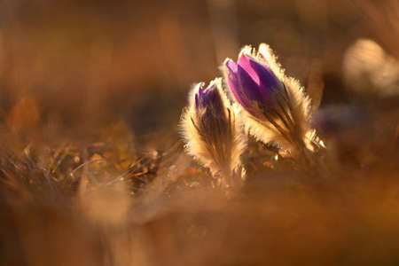 Spring flowers. Beautifully blossoming pasque flower and sun with a natural colored background. (Pulsatilla grandis) Stok Fotoğraf - 166163297