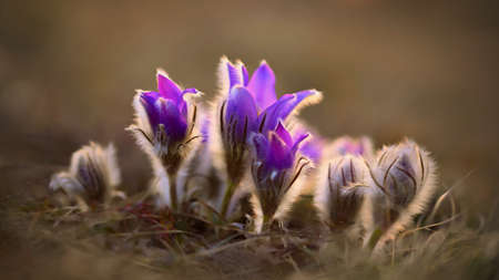 Springtime and spring flower. Beautiful purple little furry pasque-flower. (Pulsatilla grandis) Blooming on spring meadow at the sunset
