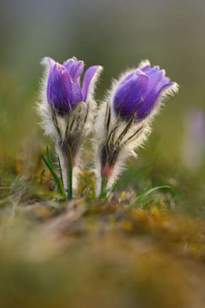 Springtime and spring flower. Beautiful purple little furry pasque-flower. (Pulsatilla grandis) Blooming on spring meadow at sunset. Nature colorful background.