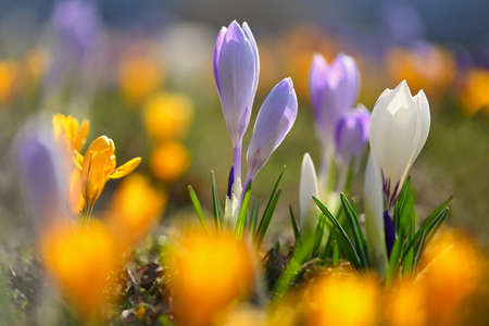 Beautiful spring background. Close-up of a group of blooming colorful crocus flowers (Crocus vernus)