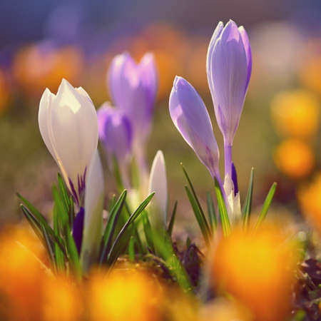 Spring flowers. Colorful nature background. Close-up of a group of blooming colorful crocus. (Crocus vernus) Banco de Imagens - 167025593