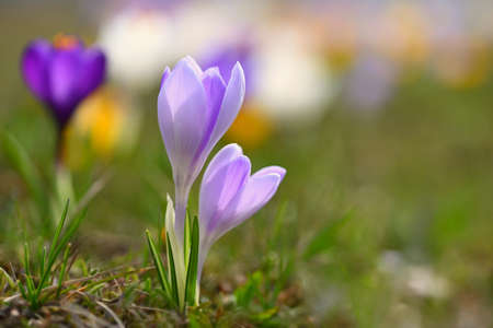 Beautiful spring background. Close-up of a group of blooming colorful crocus flowers (Crocus vernus) Banco de Imagens - 167025960