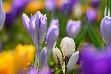 Beautiful spring background. Close-up of a group of blooming colorful crocus flowers (Crocus vernus) Stok Fotoğraf - 167025175
