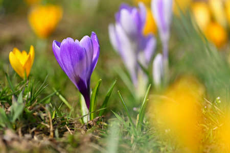 Spring flowers. Colorful nature background. Close-up of a group of blooming colorful crocus. (Crocus vernus) 写真素材 - 167025127