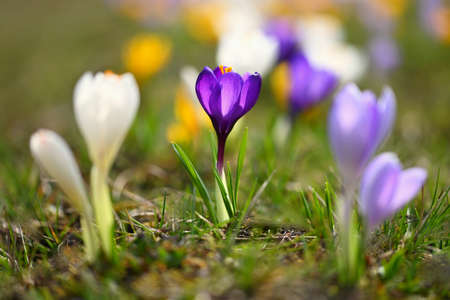Beautiful spring background. Close-up of a group of blooming colorful crocus flowers (Crocus vernus) Banco de Imagens - 167025210