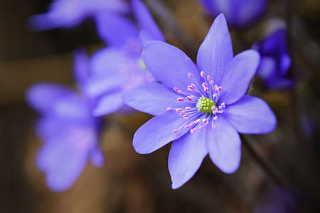 Spring flower. Beautiful purple plant in the forest. Colorful natural background. (Hepatica nobilis)