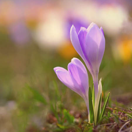 Spring flowers. Colorful nature background. Close-up of a group of blooming colorful crocus. (Crocus vernus) Banco de Imagens - 167024924