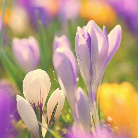 Spring flowers. Colorful nature background. Close-up of a group of blooming colorful crocus. (Crocus vernus)