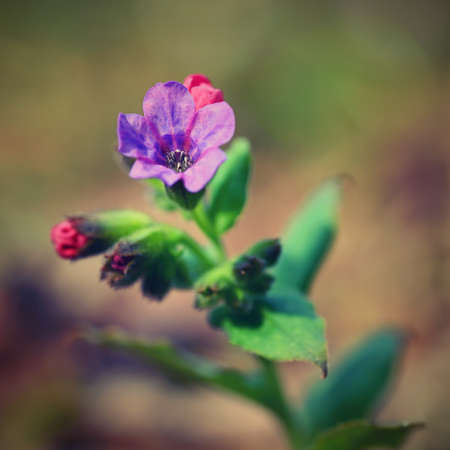 Beautiful colorful medicinal plant in the forest. (Pulmonaria officinalis)