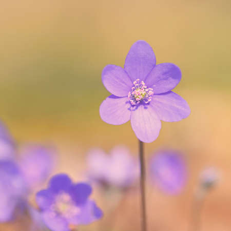 Spring flower. Beautiful blooming first small flowers in the forest. Hepatica. (Hepatica nobilis) Banco de Imagens - 167351104