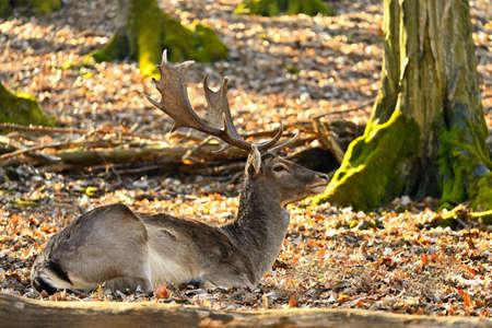 Beautiful animal in a wild nature. Fallow deer (Dama dama) Colorful natural background Banco de Imagens - 167350578