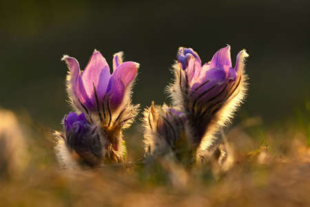 Spring flowers. Beautifully blossoming pasque flower and sun with a natural colored background. (Pulsatilla grandis) Imagens