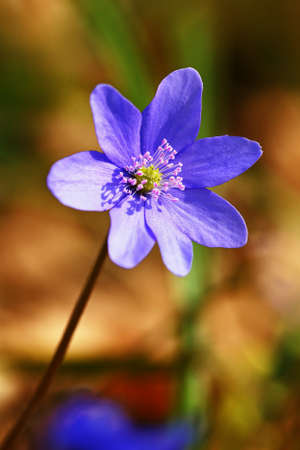 Spring flower. Beautiful blooming first small flowers in the forest. Hepatica. (Hepatica nobilis) Banco de Imagens - 167350924