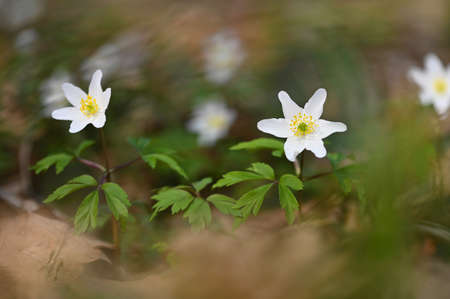Spring white flowers in the grass Anemone (Isopyrum thalictroides)