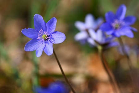 Spring flower. Beautiful blooming first small flowers in the forest. Hepatica. (Hepatica nobilis) 写真素材 - 167350484