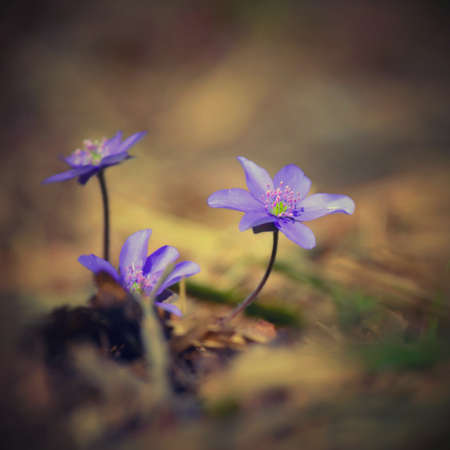 Spring flower. Beautiful blooming first small flowers in the forest. Hepatica. (Hepatica nobilis) Banco de Imagens - 167350950