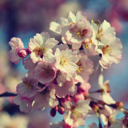 Beautifully flowering spring tree. Cherry blossom sakura in spring time. Colorful nature background. Imagens