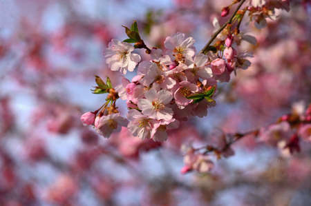 Beautifully flowering spring tree. Colorful nature background in spring time. Sunny day outdoors in nature.