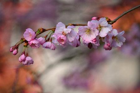 春树开花美丽。春天的色彩斑斓的大自然背景。阳光明媚的户外大自然。