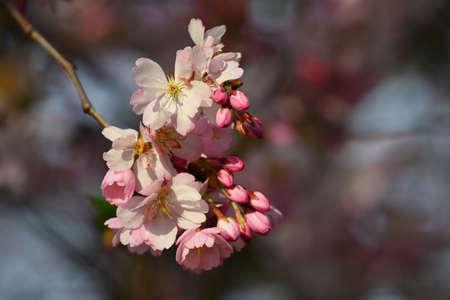春树开花美丽。樱花樱花在春天。五颜六色的自然背景。图片