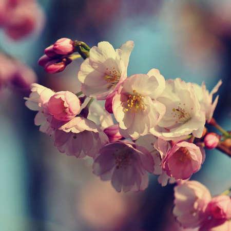 春天开花的背景。美丽的自然景色与盛开的树木在春天。