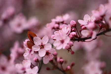 盛开的樱桃的分支。背景在春天在自然户外。桃红色佐仓春天开花。图片