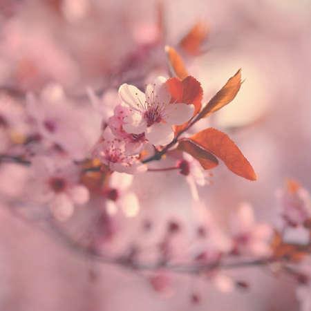 美丽的日本樱花。赛季的背景。室外自然模糊的背景与开花树在春天阳光明媚的日子。图片