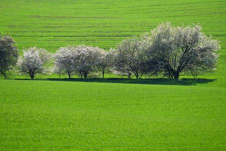 美丽的春天景色。在领域的开花的树与波浪 - 摩拉维亚托斯卡纳捷克共和国。