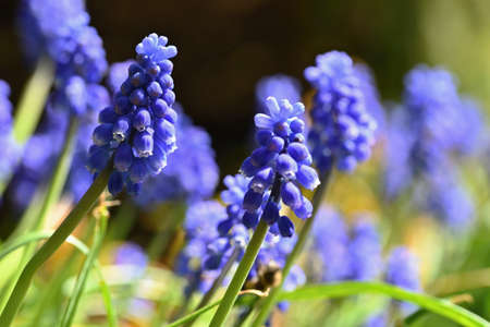 Beautiful spring blue flower grape hyacinth with sun and green grass. Macro shot of the garden with a natural blurred background. (Muscari armeniacum)