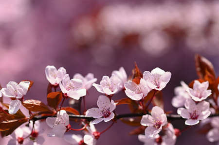 Spring background - copy space. Beautiful Japanese cherry blossoms on a clean colored natural background on a sunny day. Spring time. Stok Fotoğraf
