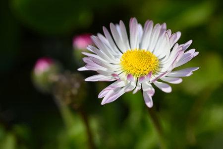 Spring flower - daisy. Macro shot of spring nature up close. Stok Fotoğraf